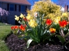 Spring Tulips and Daff's