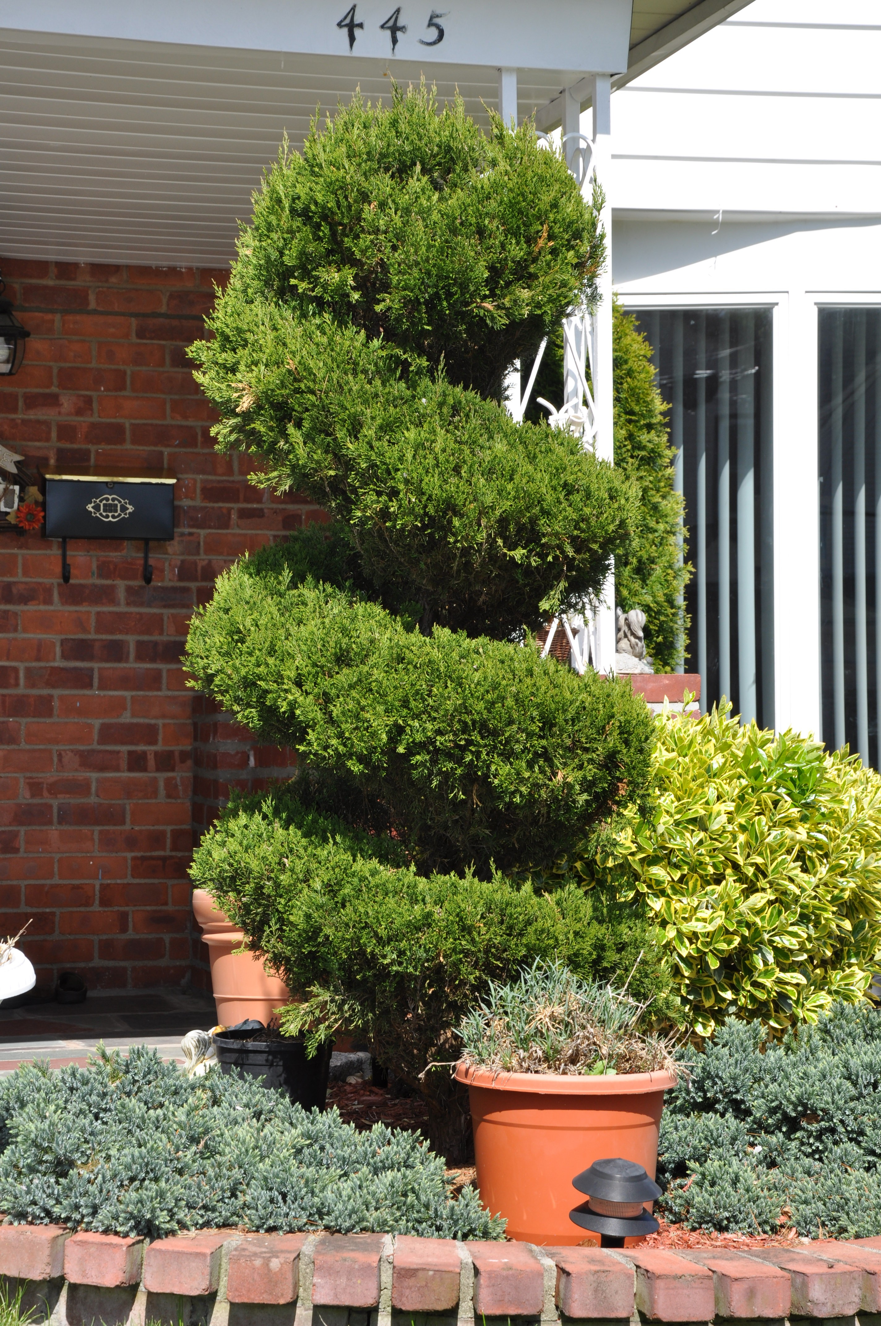 how to spiral cut a juniper tree