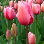 Tulips...Spring Color