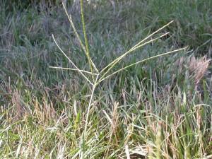 ControllingCrabgrassFlickrMattLavin