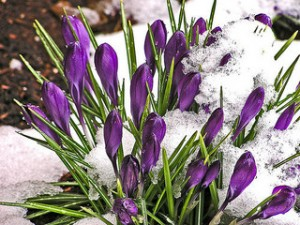 Crocuses are a great addition for a spring color display