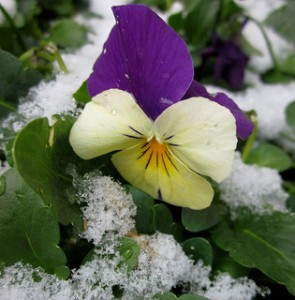 Try planting some pansies in the fall for extra zings of color