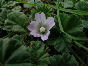 One weed found in lawns is the common mallow