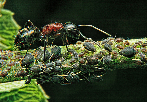 Are There Aphids in Your Landscape?