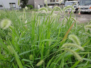 Foxtail weeds can appear in your lawn
