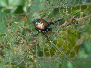 Japanese beetles can skeletonize leaves