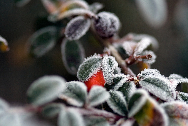 Prep your shrubs during fall to help the, survive during the winter.