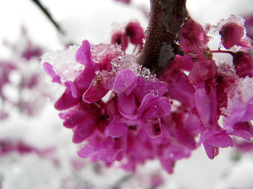 Redbuds are a source of early spring color