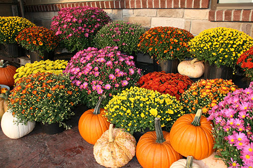 Keep It Colorful with Mums